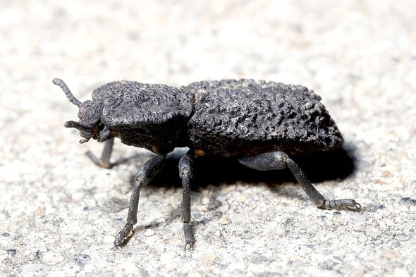This Beetle's Stab-Proof Exoskeleton Makes It Almost Indestructible