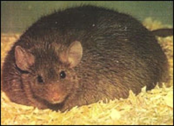 Cutting Off Blood Supply to Fat Cells Slims Obese Mice