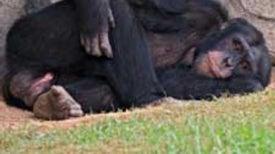 Do Chimpanzees Understand Death?