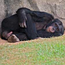 chimpanzee death dying understand old