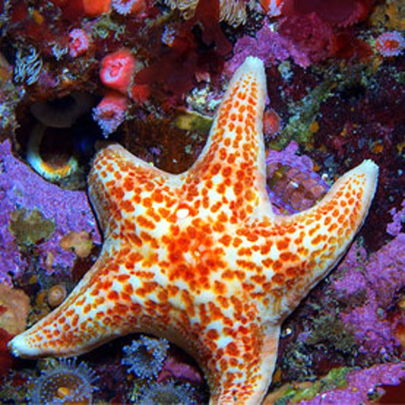 Clues Sought for Sea Star Die-Off