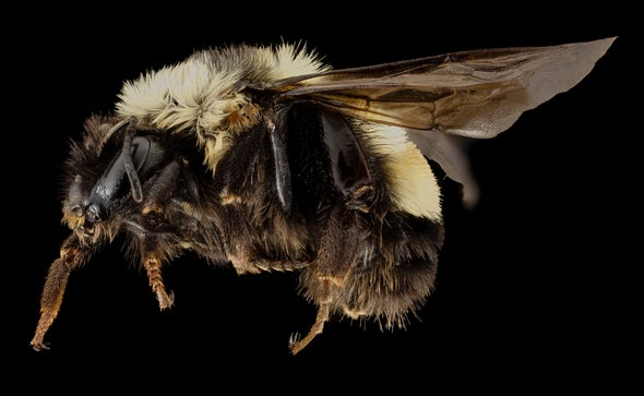 U.S. Lists a Bumble Bee Species as Endangered for First Time