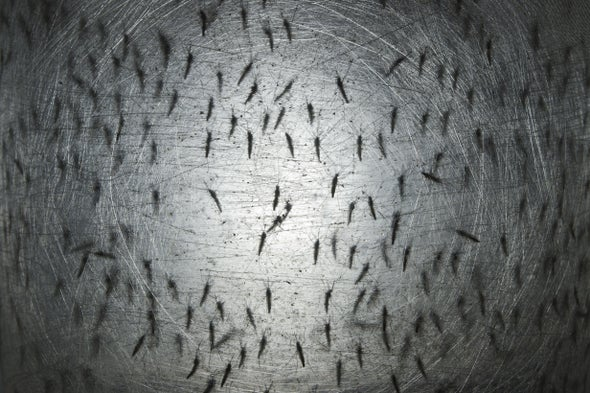 First Genetically Modified Mosquitoes Released in U.S. Are Hatching Now