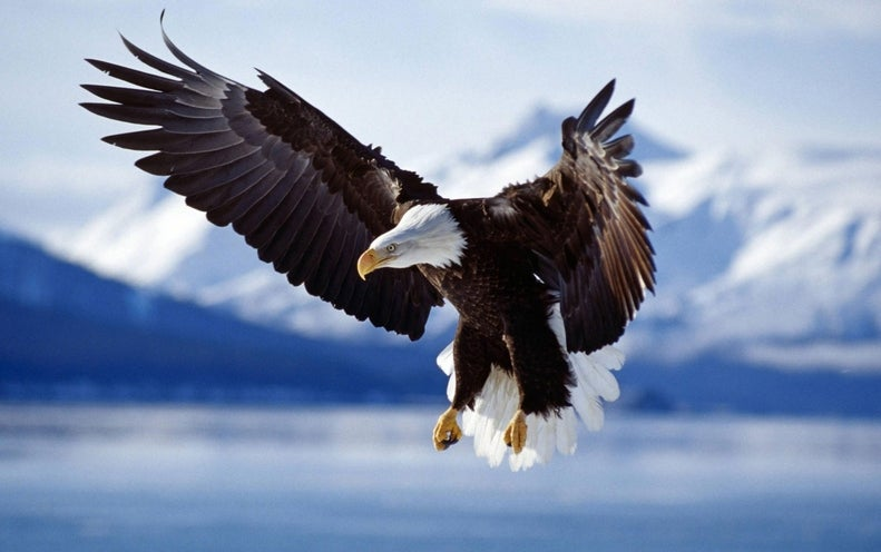 These Eagles Snatch Hostile Drones from the Sky
