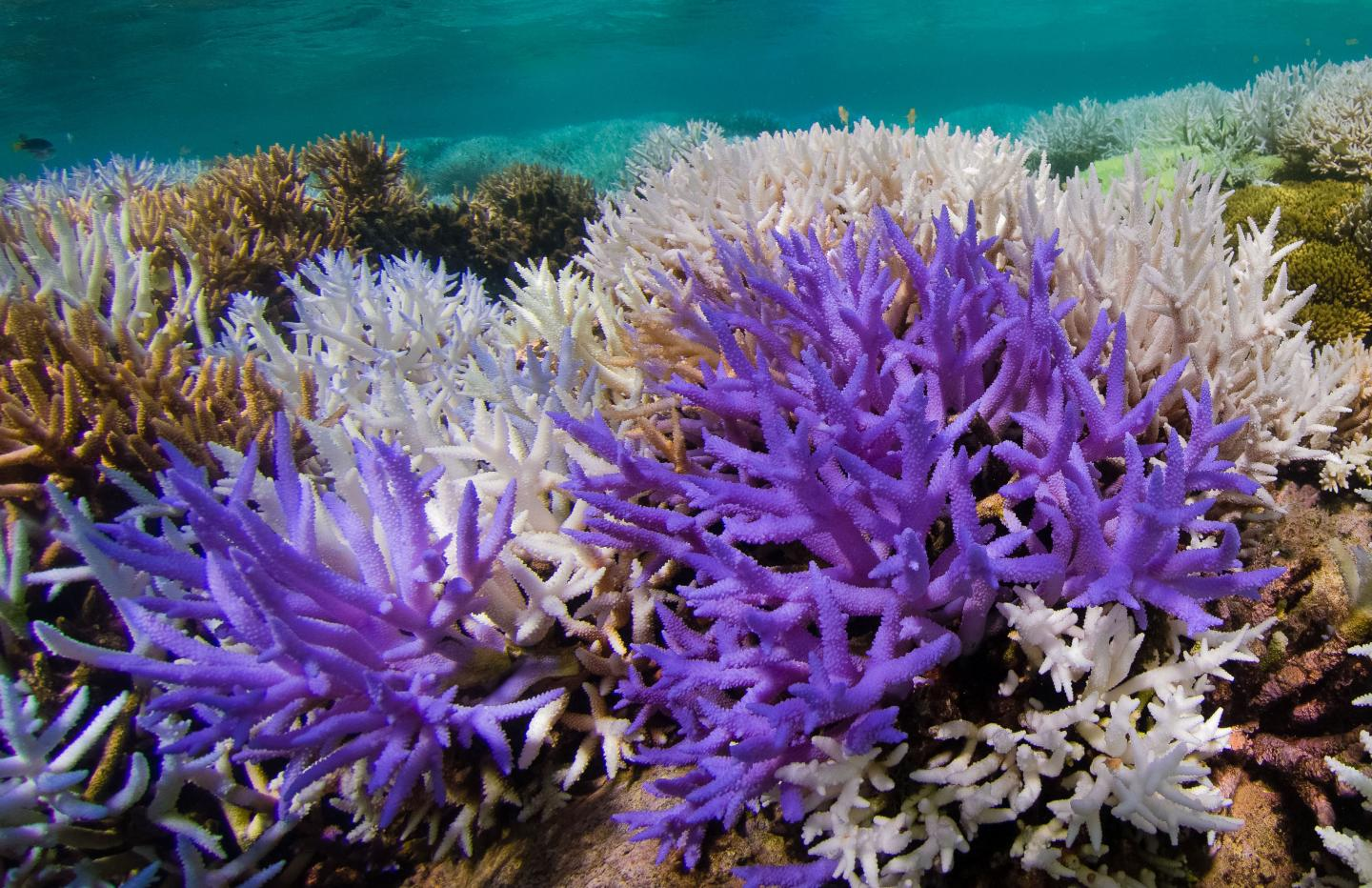 Colorful Corals Beat Bleaching
