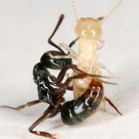 Crawl Space: Invasive Ant Armies Clash on U.S. Soil