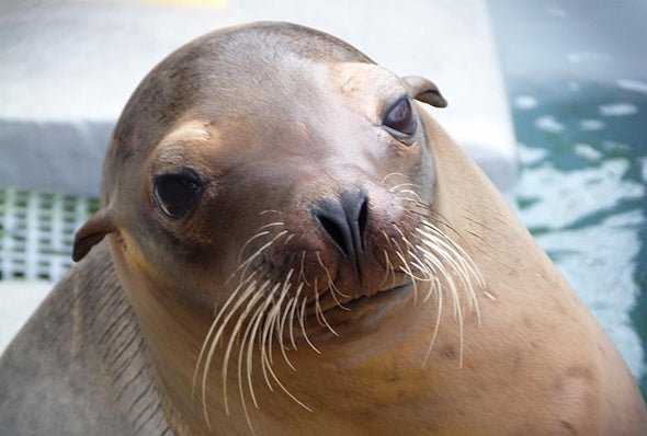 Toxic Algae Causing Brain Damage in Sea Lions along California Coast