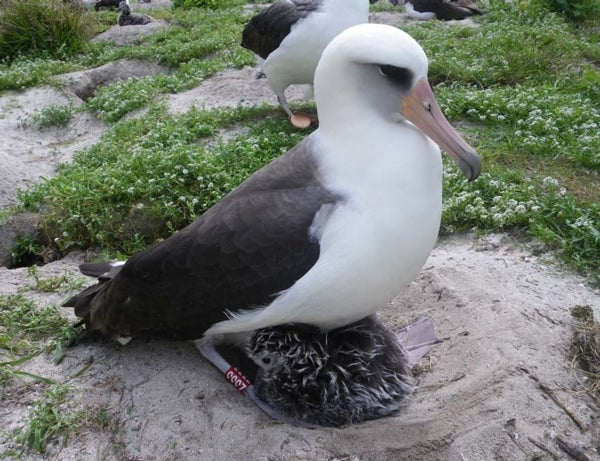 A mother 35 times: Elderly albatross is still laying eggs