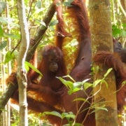 Orangutans Use Plant Extracts to Treat Pain