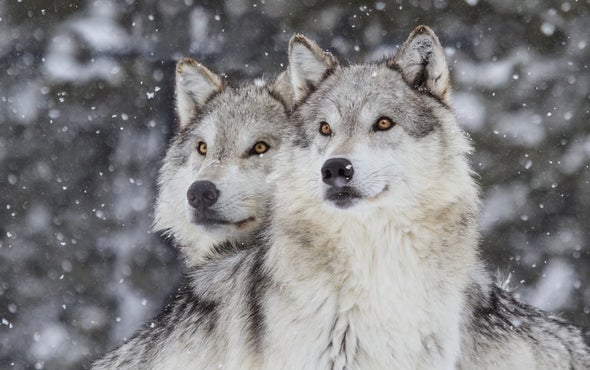 Does Killing Sharks, Wolves and Other Top Predators Solve Our Conflicts with Them?
