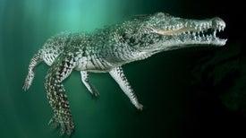 Saving the Endangered Cuban Crocodile