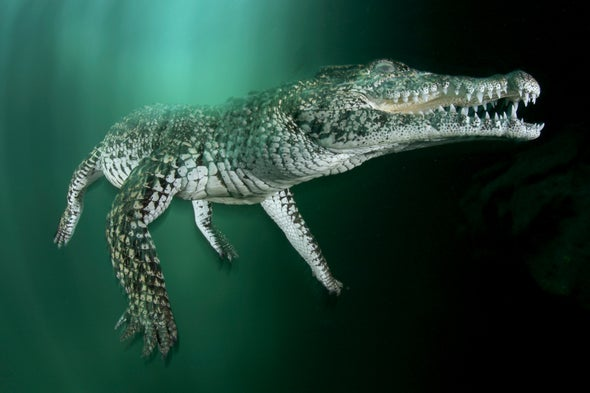 Saving the Endangered Cuban Crocodile