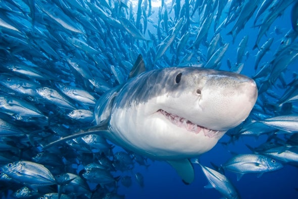 Shark Bites Are Up But Attack Risk Is Down