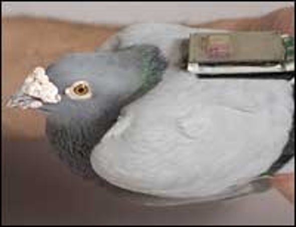 Highways Help Pigeons Find Their Way Home