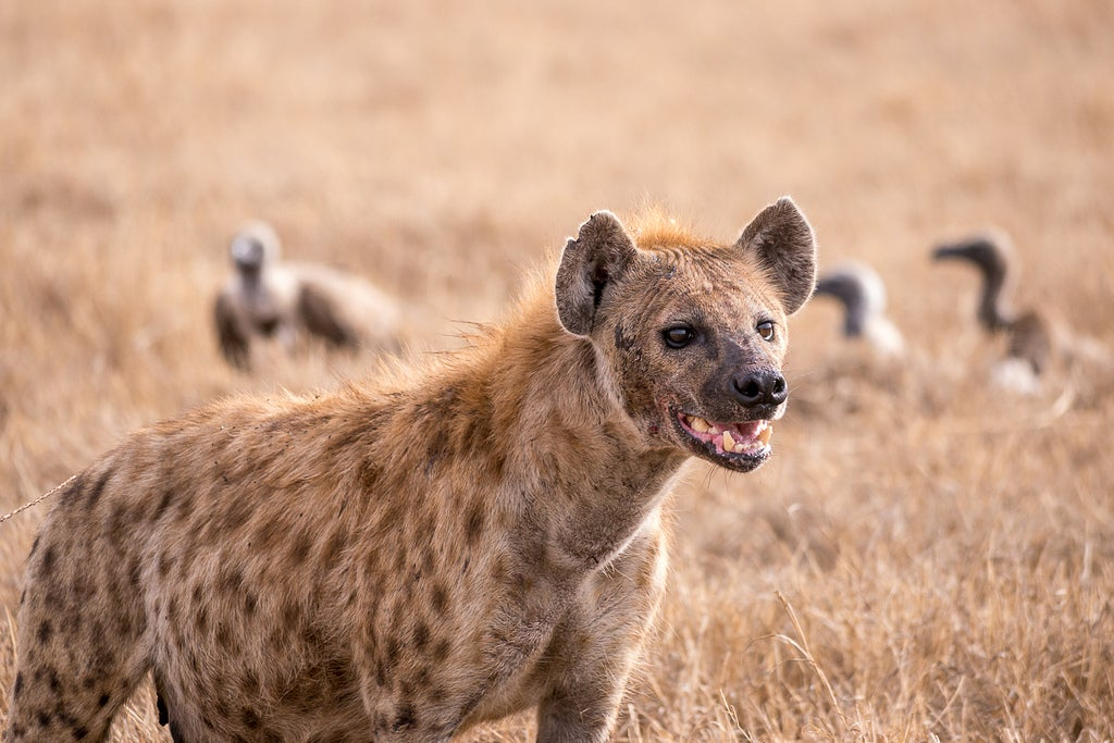 Image of: Wild Dog What Hyenas Can Tell Us About The Origins Of Intelligence Scientific American What Hyenas Can Tell Us About The Origins Of Intelligence