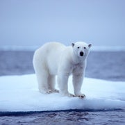 Autonomous Aircraft Maps Sea Ice and Tracks Polar Bears