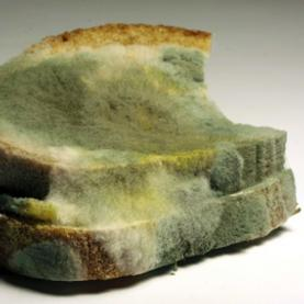 Sexual reproduction in a bread mold involves the production of