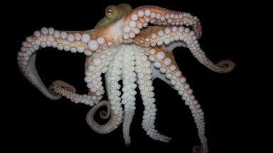 Octopus Genome Reveals Secrets to Complex Intelligence