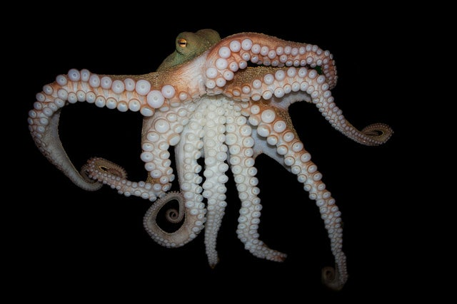 octopus genome reveals secrets to plex intelligence scientific Voice Mapping octopus genome reveals secrets to plex intelligence