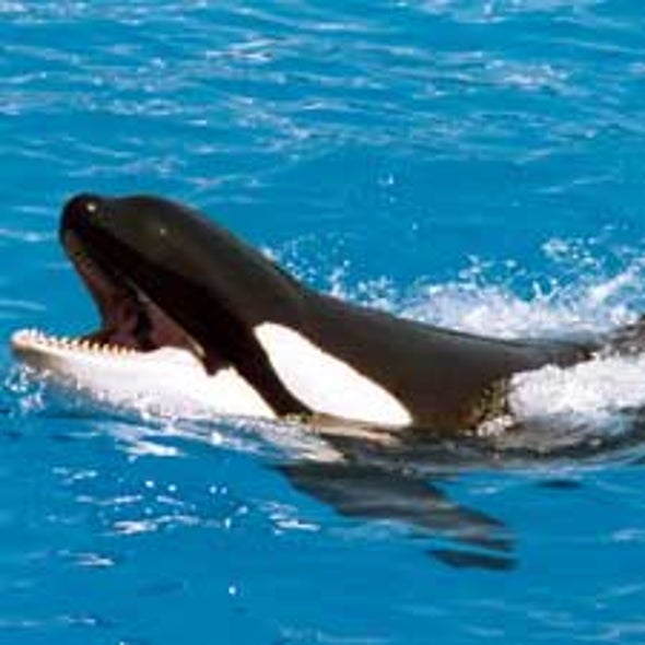 Why Would a Trained Orca Kill a Human?
