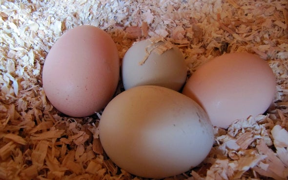 Chemistry Could Save Billions of Baby Male Chickens