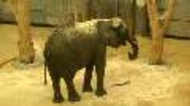 "Source of Elephant Rumblings Revealed in ""Larynx Laboratory"""