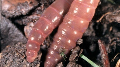 Field Study: Worms Leave 'Til No-Till