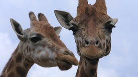 DNA Reveals Giraffes Are 4 Species--Not 1
