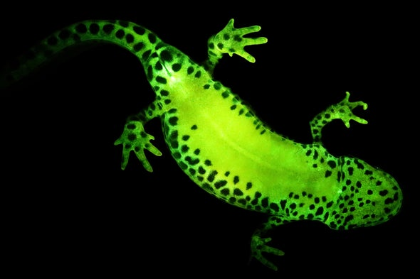 Salamanders and Frogs Light Up with Secret Superpower