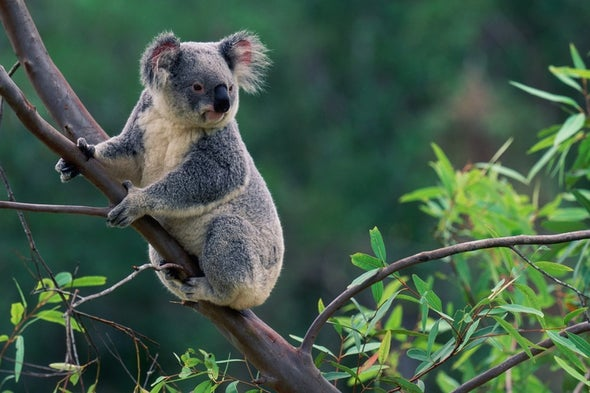 What a Koala Virus Tells Us About the Human Genome