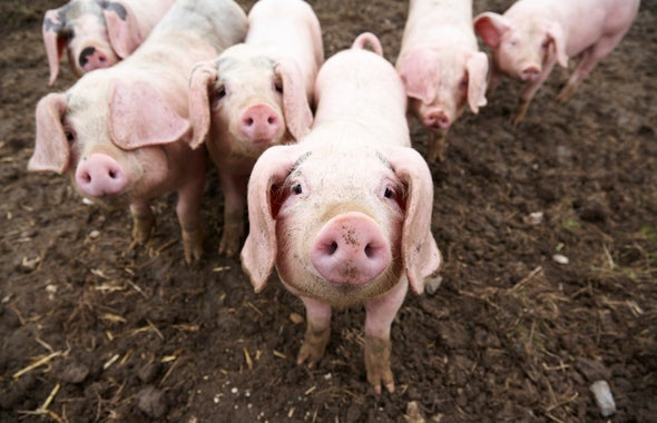 New Kind of Antibiotic Resistance Shows Up on a Hog Farm