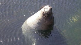 Elephant Seals Reveal Anti-Inflammatory Secrets of Carbon Monoxide