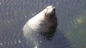 Elephant Seals Reveal Anti-Inflammatory Secrets of Carbon Monoxide