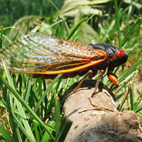 Cicada Wings Are Self-Cleaning