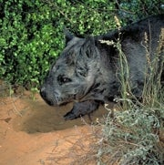 Northern Hairy-Nosed Wombat <i>Lasiorhinus krefftii</i>