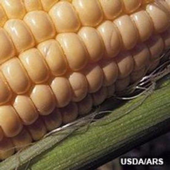 Study Linking Genetically Modified Corn to Rat Tumors Is Retracted