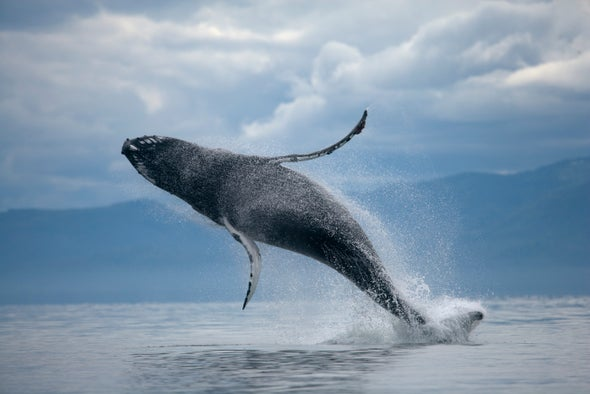 Humpback Whales Swap Songs at Island Hub