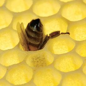Sensors in Beehives May Warn of Disease