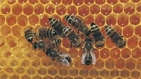 Pesticides Act as Honeybee Contraceptives