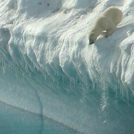 A polar bear in Nanortalik, South Greenland