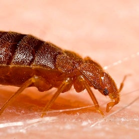 Massive Resistance: Bed Bugs' Genetic Armor Shields Them from Pesticides