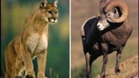 Lion versus Lamb