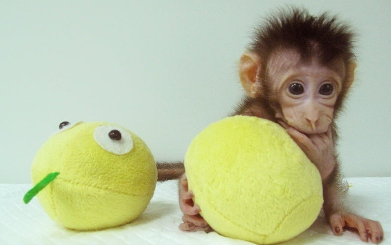 """First Primate Clones Produced Using the """"Dolly"""" Method"""