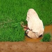 Warmer Nights Threaten India's Rice Production