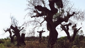 Mistrust of Scientists Is Allowing the <i>Xylella</i> Bacterium to Kill Italy's Olive Trees