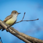 Oil- and Gas-Drilling Noise Stresses Birds