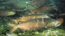 Last-Ditch Plan Aims to Prevent First Drought Extinction of Native Fish
