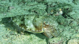 Cuttlefish Are Dazzling, But Do They Dream?