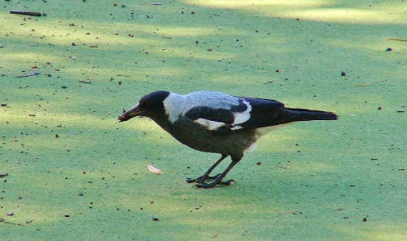 Australian Bird Dips Its Dinner