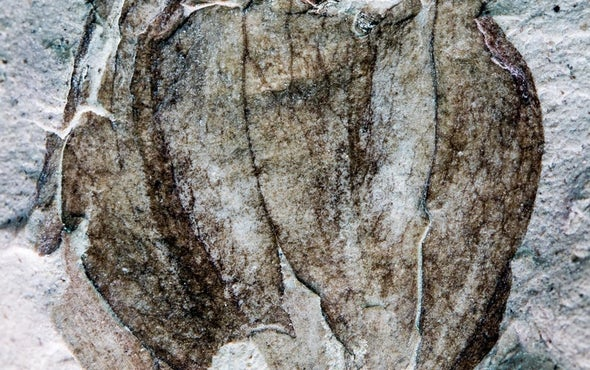 Salsa Primeval: 52-Million-Year-Old Tomatillo Found